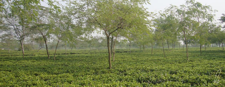 Jay Shree Tea Gradens Jayantika